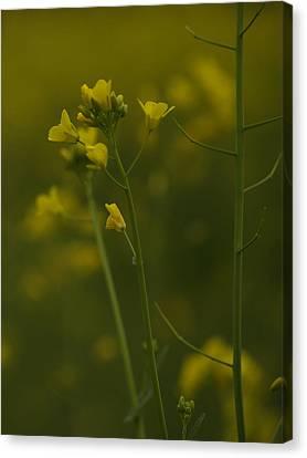 Canvas Print - Wild Mustard by Bill Gallagher