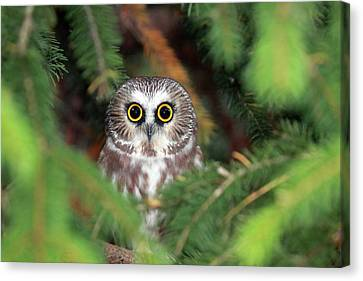Wild Northern Saw-whet Owl Canvas Print