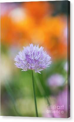 Wild Onion Flower Canvas Print by Tim Gainey