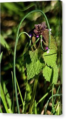 Wild Onion Framing Mint Canvas Print by Douglas Barnett