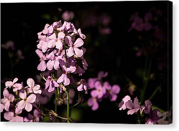 Wild Phlox Catching The Light Canvas Print by Debra Martz