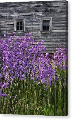 Wild Phlox - Windows - Old Barn Canvas Print by Nikolyn McDonald