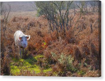 Wild Pig In The New Forest - England Canvas Print by Joana Kruse