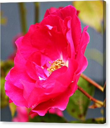 Wild Pink Rose Canvas Print by Cathie Tyler