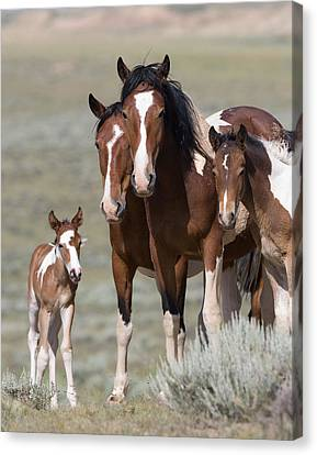Wild Pinto Family Canvas Print by Carol Walker