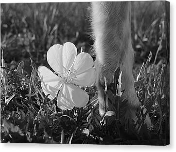 Wild Primrose With Dog's Foot Canvas Print