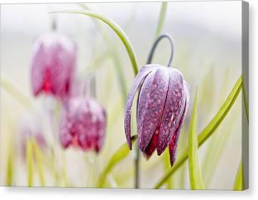 Snakes Head Fritillary Canvas Print - Wild Spring Meadow Flower by Dirk Ercken