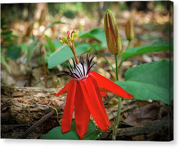 Wild Red Passion Flower Canvas Print by Yuka Ogava
