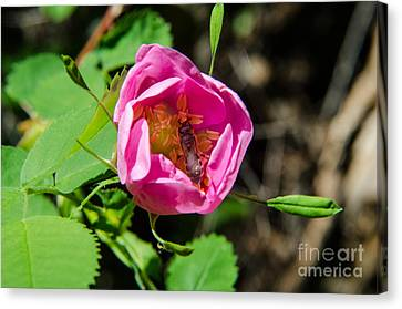 Wild Rose And Bee Canvas Print by Rex Wholster