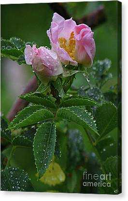 Canvas Print featuring the photograph Wild Rose Buds by Deborah Johnson