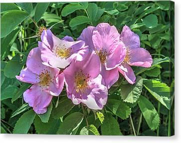 Wild Rose Cluster Canvas Print