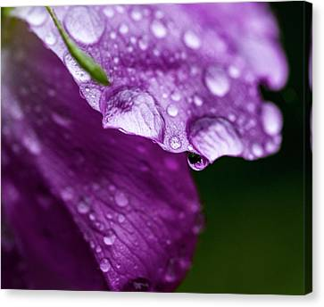Canvas Print featuring the photograph Wild Rose Droplet by Darcy Michaelchuk