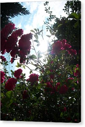 Wild Rose Shine Canvas Print by Ken Day