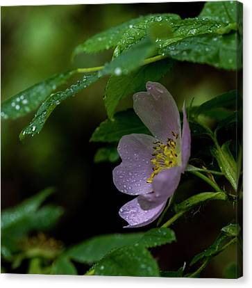 Canvas Print featuring the photograph Wild Rose With Shelter by Darcy Michaelchuk