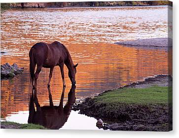 Wild Salt River Horse At Saguaro Lake Canvas Print by Dave Dilli
