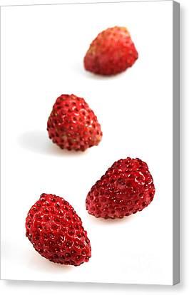 Four Strawberries Canvas Print - Wild Strawberries Fragaria Vesca by Gerard Lacz