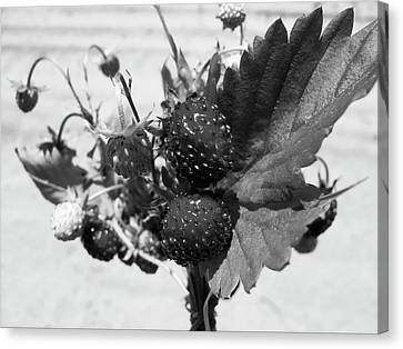 Wild Strawberry, Black And White Canvas Print by Nat Air Craft