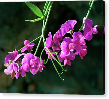 Wild Sweet Peas Canvas Print by Greg Sigrist