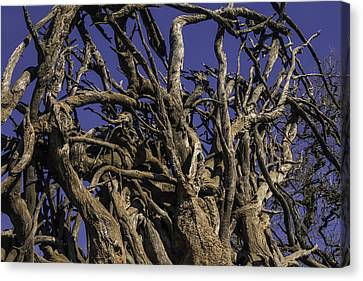 Wild Tangled Tree Roots Canvas Print