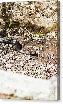 Wild Tiger Snake Canvas Print by Jorgo Photography - Wall Art Gallery