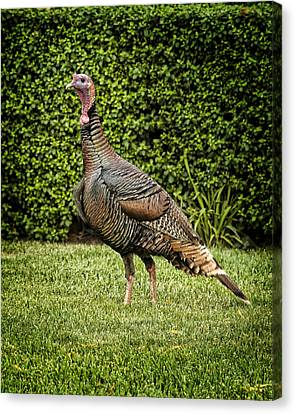 Wild Turkey Canvas Print by Kelley King