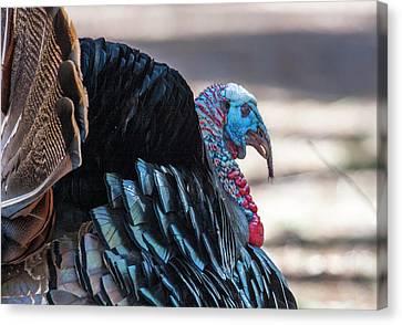 Canvas Print - Wild Turkey  by Steven Ralser