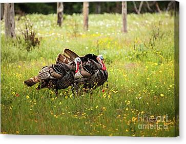 Wild Turkey's Dance Canvas Print by Iris Greenwell