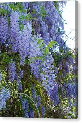 Wild Visteria In Nc Canvas Print