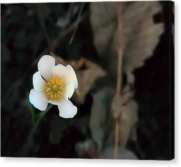 Wildflower - Bloodroot - 2 Canvas Print by Nikolyn McDonald
