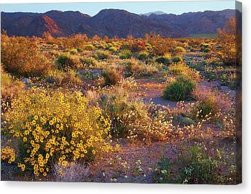 Canvas Print featuring the photograph Wildflower Meadow At Joshua Tree National Park by Ram Vasudev