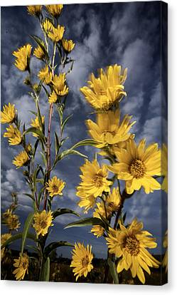 Wildflowers Blooming On The Kansas Canvas Print by Jim Richardson