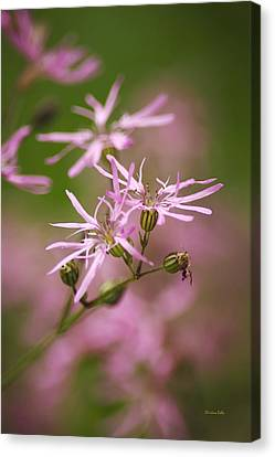 Wildflowers - Ragged Robin Canvas Print by Christina Rollo
