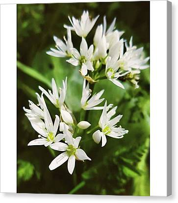 #wildgarlic #flower #woodland #walks Canvas Print by Natalie Anne