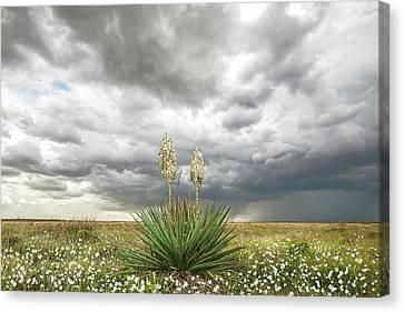 Wildorado Yucca Canvas Print
