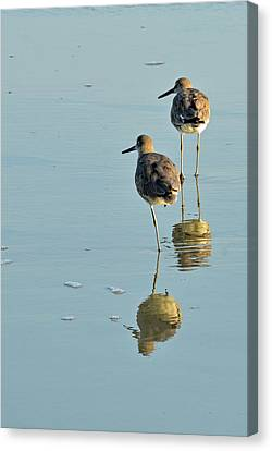 Willets On Jekyll Canvas Print by Bruce Gourley