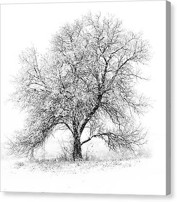 Willow And Blizzard Canvas Print by Altus Photo Design