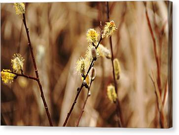 Willow Catkins Canvas Print by Debbie Oppermann