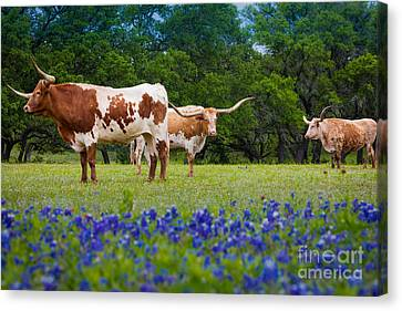 Willow City Longhorns Canvas Print