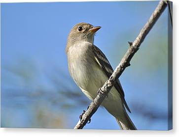 Willow Flycatcher 3 Canvas Print