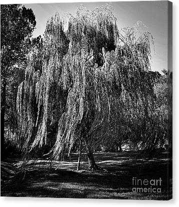 Willow In The Wind Bnw Canvas Print by Skip Willits