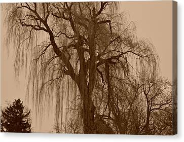 Willow Tree Canvas Print by Marc Meadows