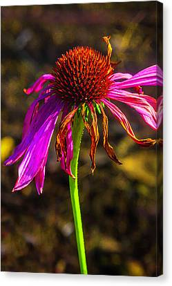 Wilted Pink Flower Canvas Print by Garry Gay