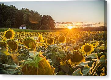 Wilted Sunset Canvas Print by Kristopher Schoenleber