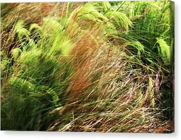 Windblown Grasses Canvas Print