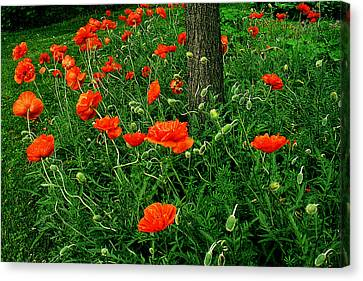 Windblown Poppies Canvas Print by Roger Soule
