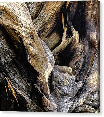 Windswept Roots Canvas Print by The Forests Edge Photography - Diane Sandoval