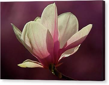 Wine And Cream Magnolia Blossom Canvas Print by Byron Varvarigos