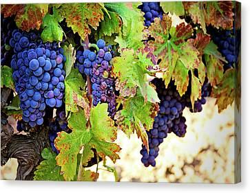 Wine Country - Napa Valley California Photography Canvas Print by Melanie Alexandra Price