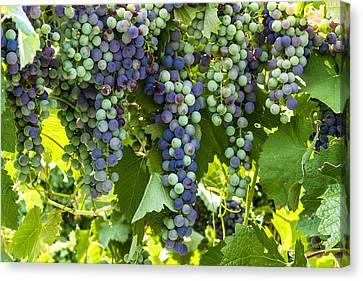 Wine Grape Colors Canvas Print by Teri Virbickis