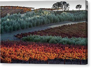 Wine Grapes And Olive Trees Canvas Print